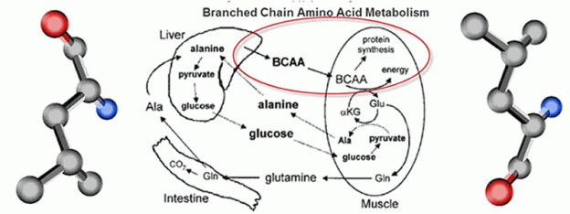 BCAAs-Metabolism