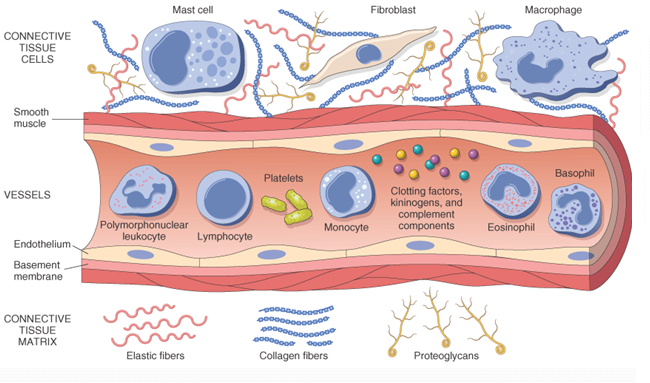 Cellular Components of inflammation